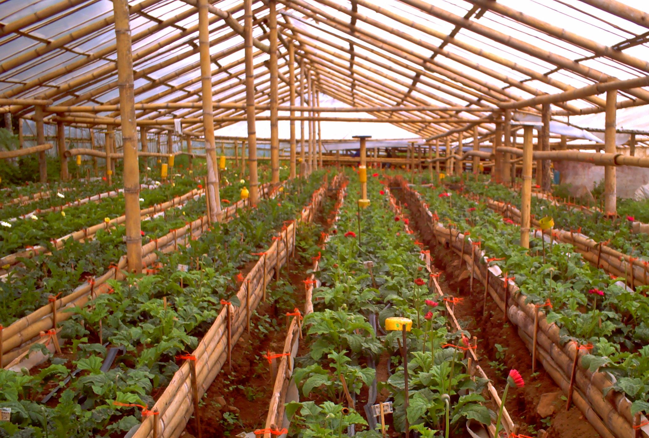 Bamboo structure the bamboo structure is suited - Pepper Cultivation In Greenhouse Veggie Greenhouse Pinterest Pepper