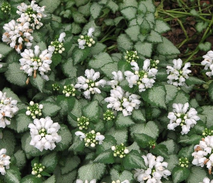 Lamium 'White Nancy' A Flowering Groundcover That Has