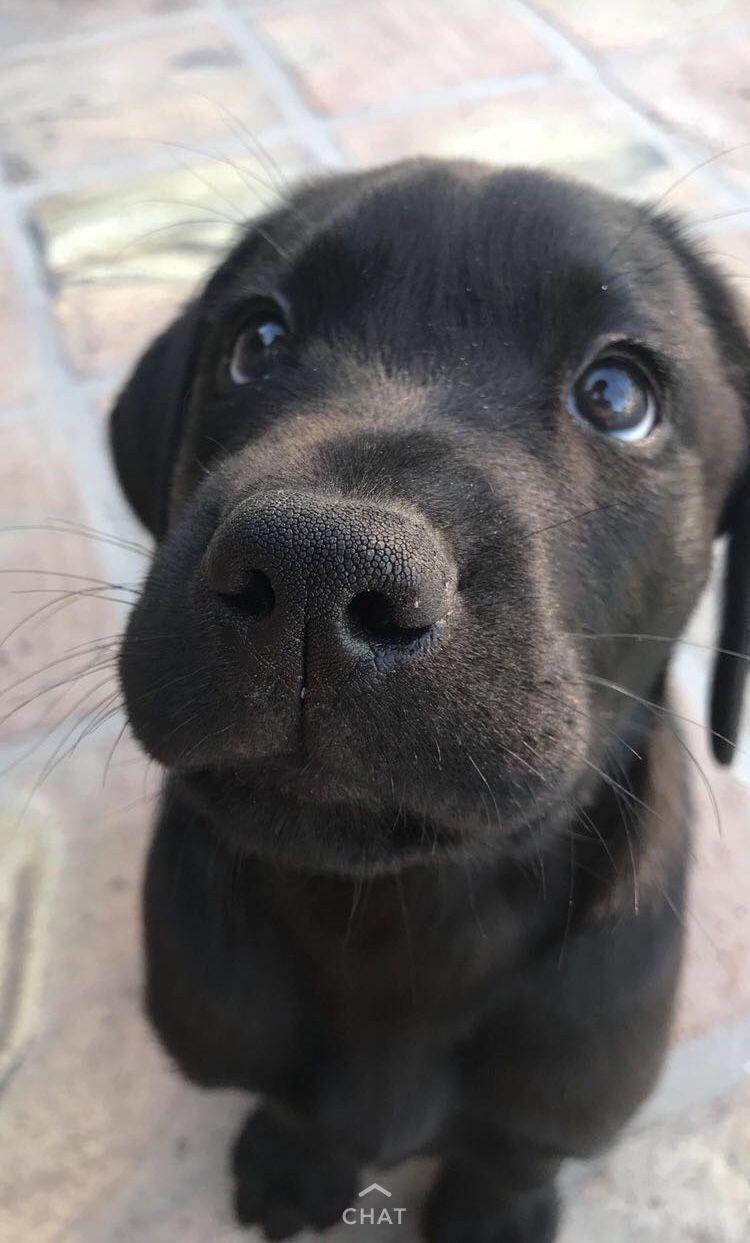 Discover the active black labrador dog size