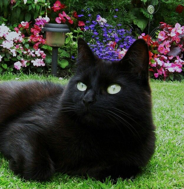 A lovely backdrop of flowers for a beautiful black cat with the most amazing green eyes.