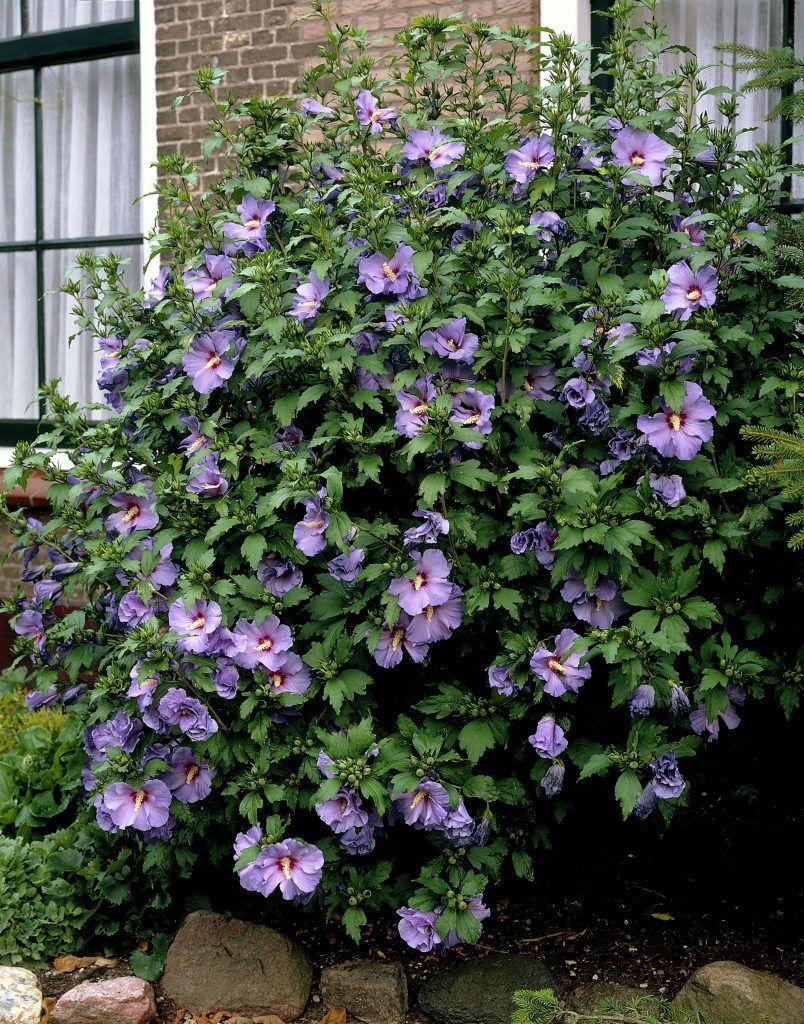Hibiscus syriacus floraison estivale rose mauve blanche for Hibiscus exterieur rouge