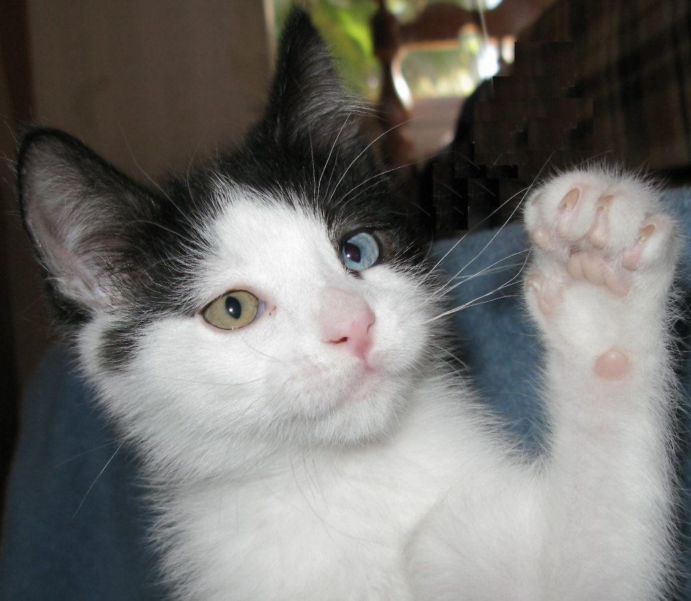 Black and White Odd Eyed Kitten Kitten love, I love cats