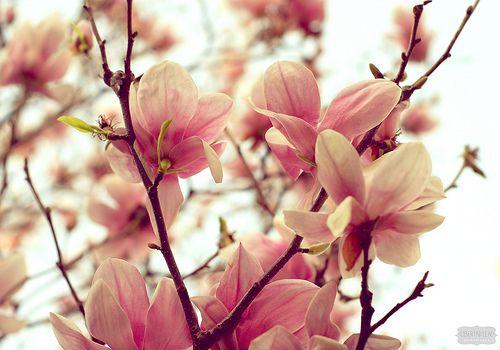 Magnolia Fleurs Arbre Fleuri Couleur