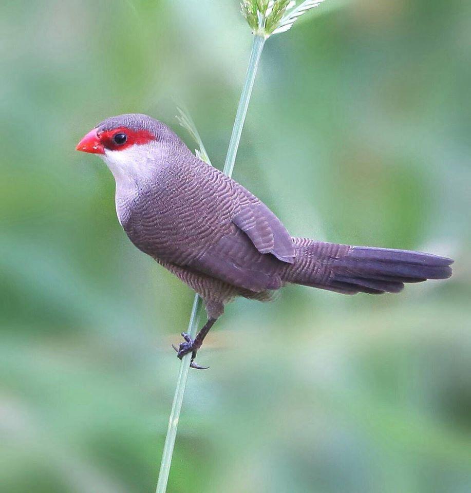 его достопримечательностях, птица амарант фото можем построить