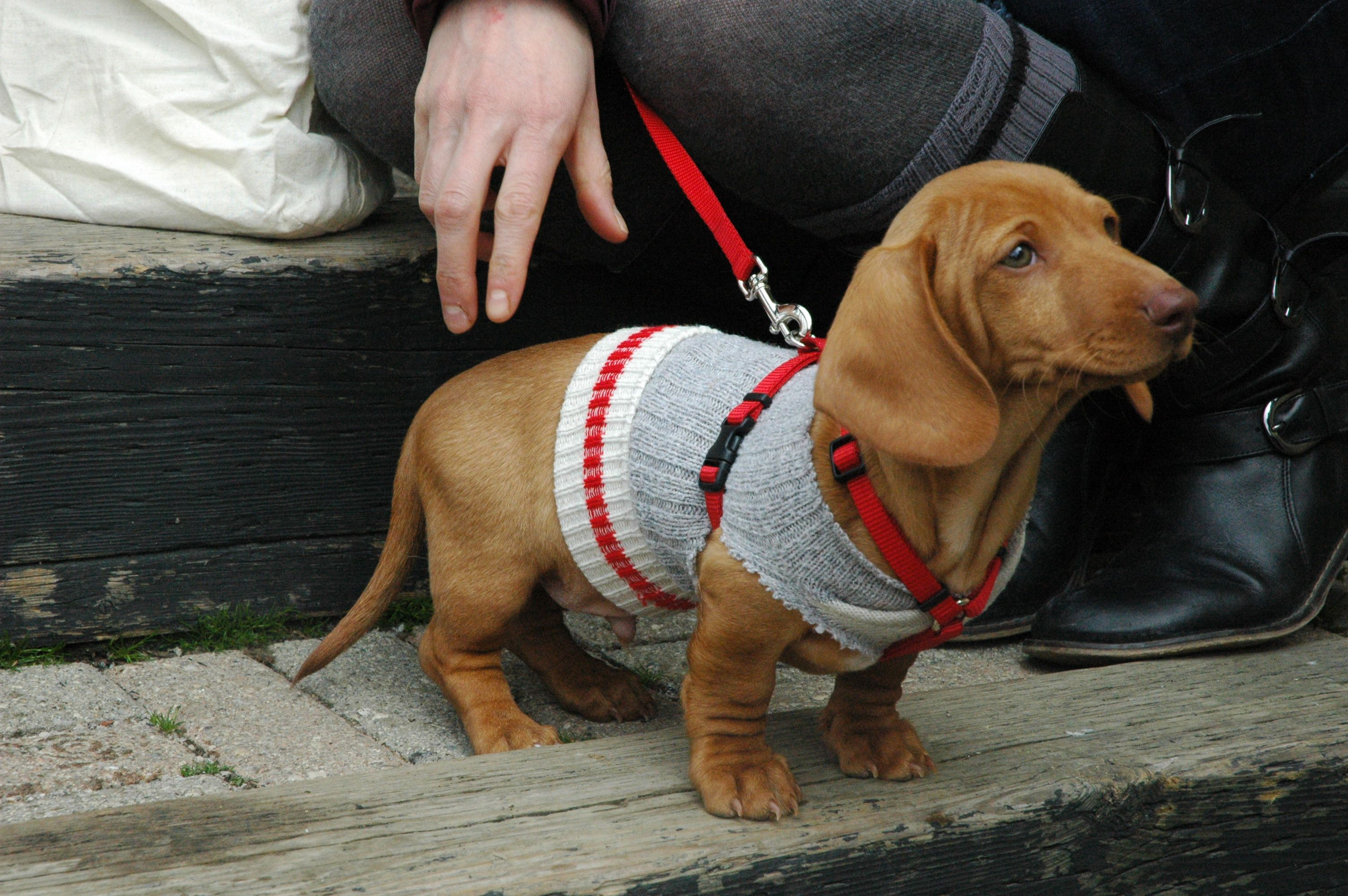 Old Or New Work Socks Make Great Dachshund Puppy Sweaters