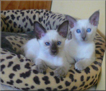 Balinese Kittens Cat Breeder Kittens Balinese Cat