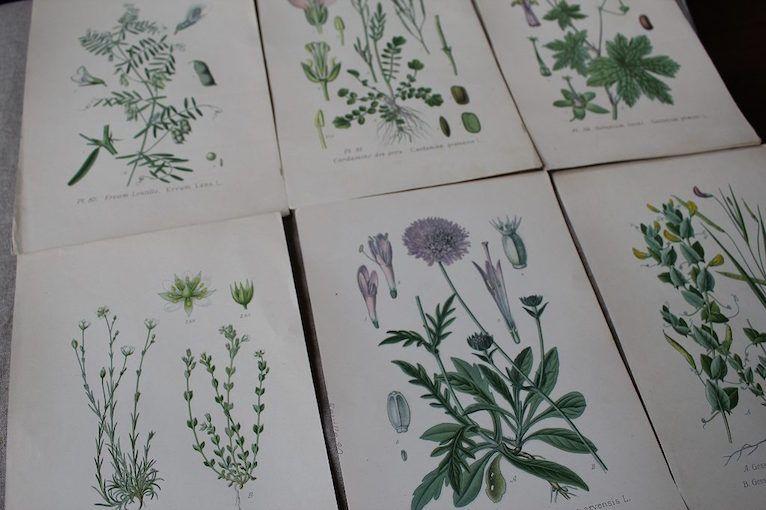 古い植物画