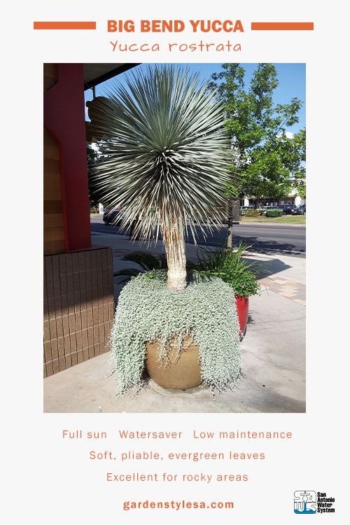 True to its name big bend yucca is a west texas native thats true to its name big bend yucca is a west texas native thats able to sciox Choice Image
