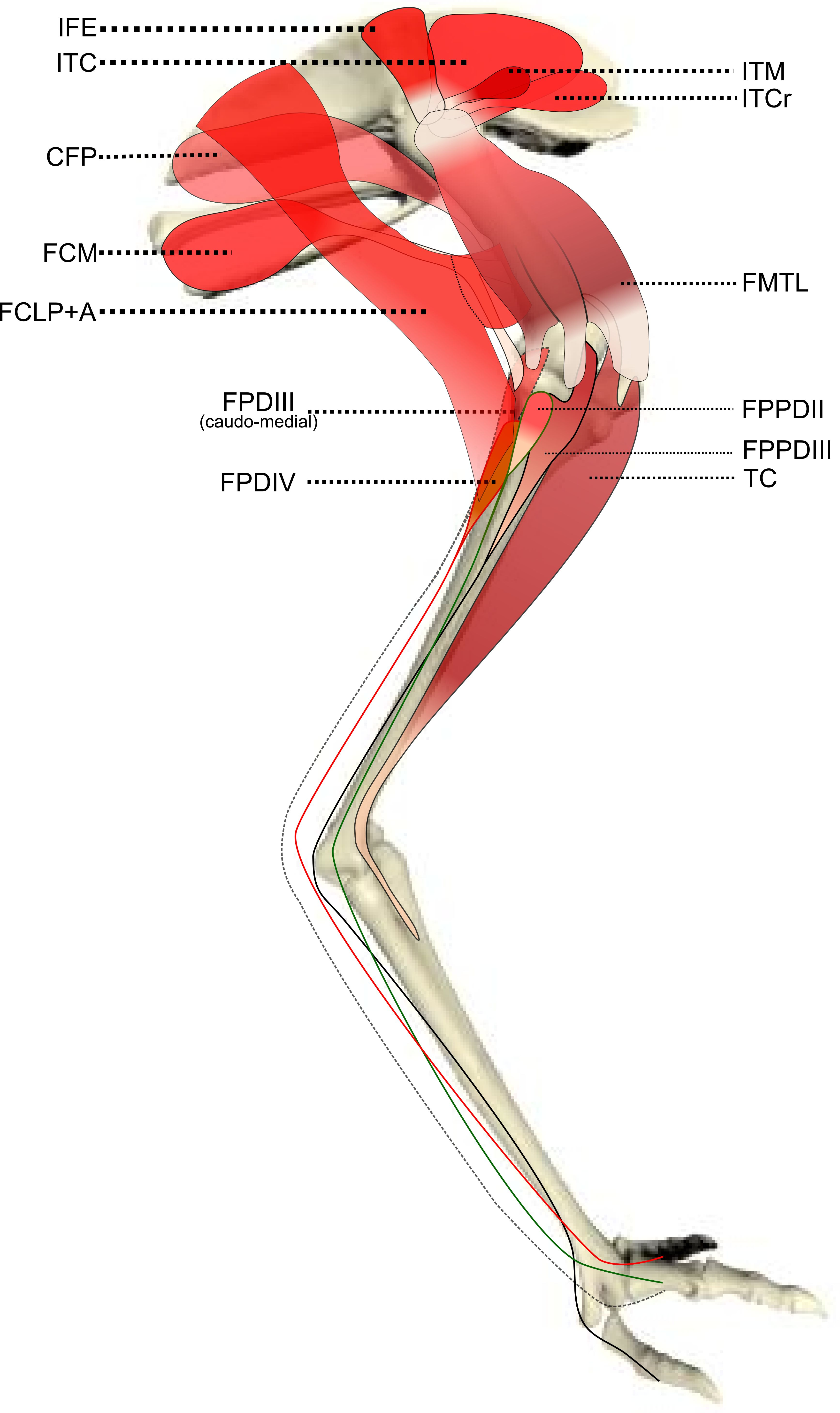 Dog Hind Leg Diagram Pourbaix Fe Mouse Muscle Anatomy See More About