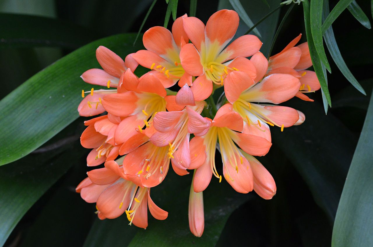 Clivia miniata orange flowered form flowers clivia miniata clivia miniata orange flowered form flowers clivia miniata wikipedia the free encyclopedia izmirmasajfo