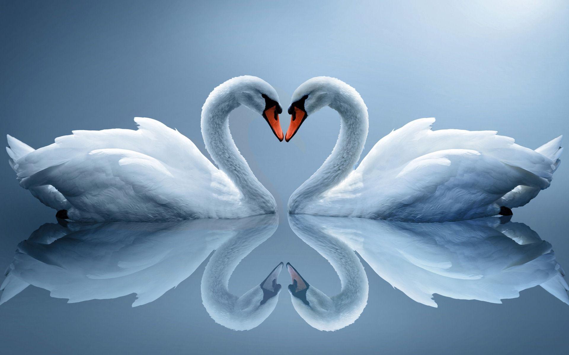 swan love desktop wallpaper | wallepapers | pinterest | swans