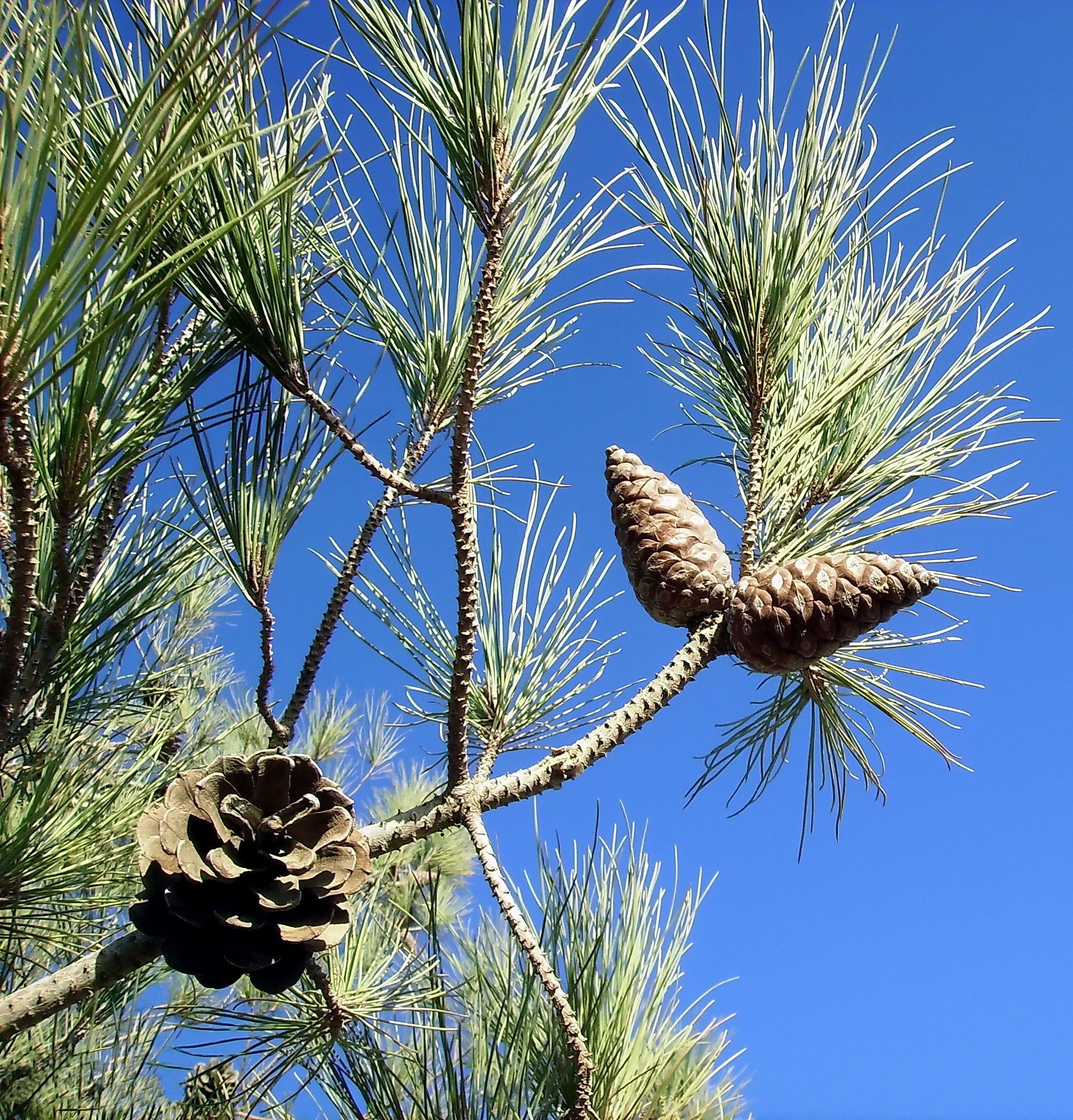 Pinus brutia:~  TURKISH PINE, (Greek :Peukê, pitys)  The Turkish pine is another coastal pine, somewhat larger at 20 to 35 metres, with edible seeds. Pine wood was commonly used by the ancients for shipbuilding and also for torches. Sacred to :Poseidon (victors at the god's Isthmian games were crowned with wreaths of pine; he had sacred pine groves at Korinthos and Onkhestos) ; Dionysos (his devotees wielded pine or fir-cone tipped thrysoi staffs) Mythology :Banditry of Sinis.Sinis…