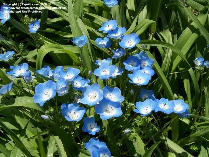 Baby Blue Eyes - Shade Mix.. Category: Annuals.. Height: under 6 in. to 12in.. Spacing: 6-12 in.. Sun Exposure: Partial to Full Shade.. Bloom Color: Light-Medium Blue.. Bloom Time: Late Winter/Early Spring, Mid Spring.. Foliage: Blue-Green Smooth-Textured.. Other details: This plant is attractive to bees, butterflies and/or birds Average Water Needs. Self-sows freely. Suitable for growing in containers.