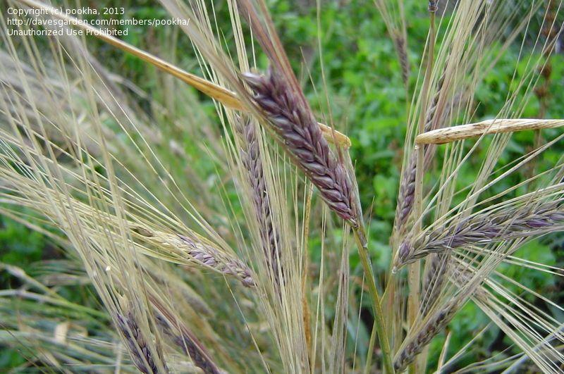Full Size Picture Of Barley  U0026 39 Purple Hulless U0026 39    Hordeum