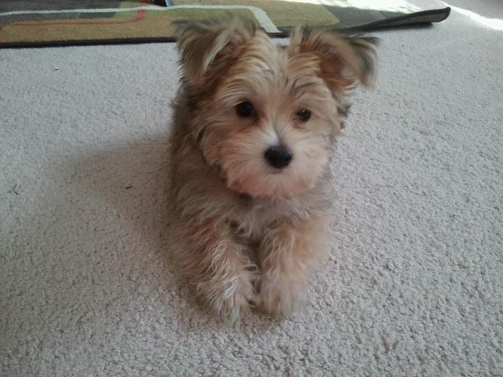 Yorkiemaltese Mix Puppies Pinterest Yorkie Maltese And
