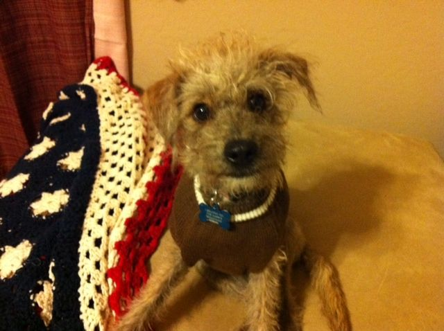 My Barney Boy He S A Rat Terrier Poodle Mix Terrier Mix Rat