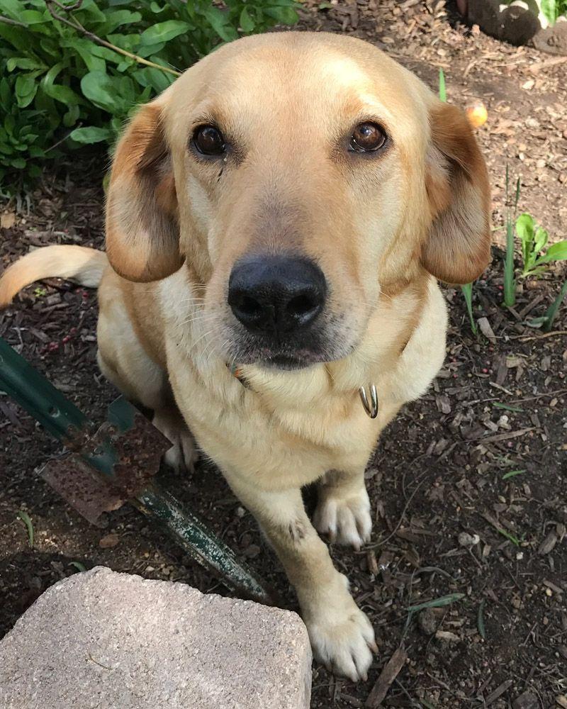 Labrador Retriever Dog For Adoption In San Diego Ca Adn 493471