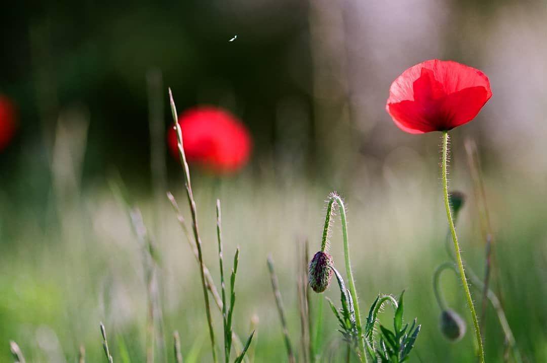 Maki Poppies Amapolas Fotografiaprzyrodnicza Przyroda Kwiaty Dzikiekwiaty Maki Maki Poppies Amapolas Fotografiaprzyrodnicza Prz Flowers Poppies Plants