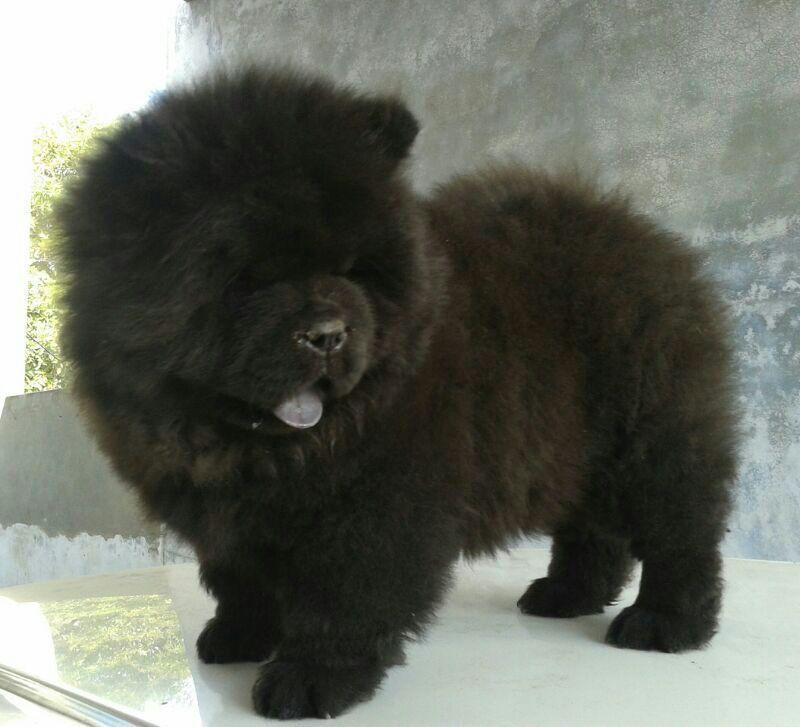 Black Chow Chow Puppies Google Search Chowchowdog