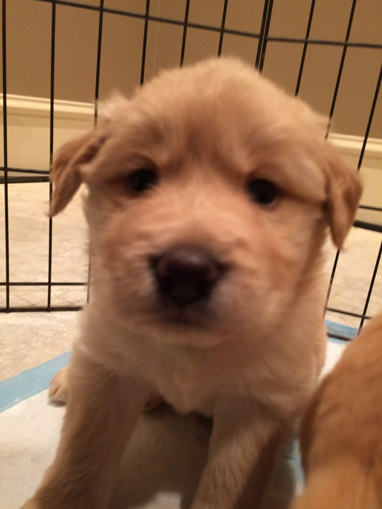 This Is Cupid 5 Weeks Old He Will Be Neutered And Given His Puppy Shots Before Adoption Pu Golden Retriever Rescue Golden Retriever Golden Retriever Breed