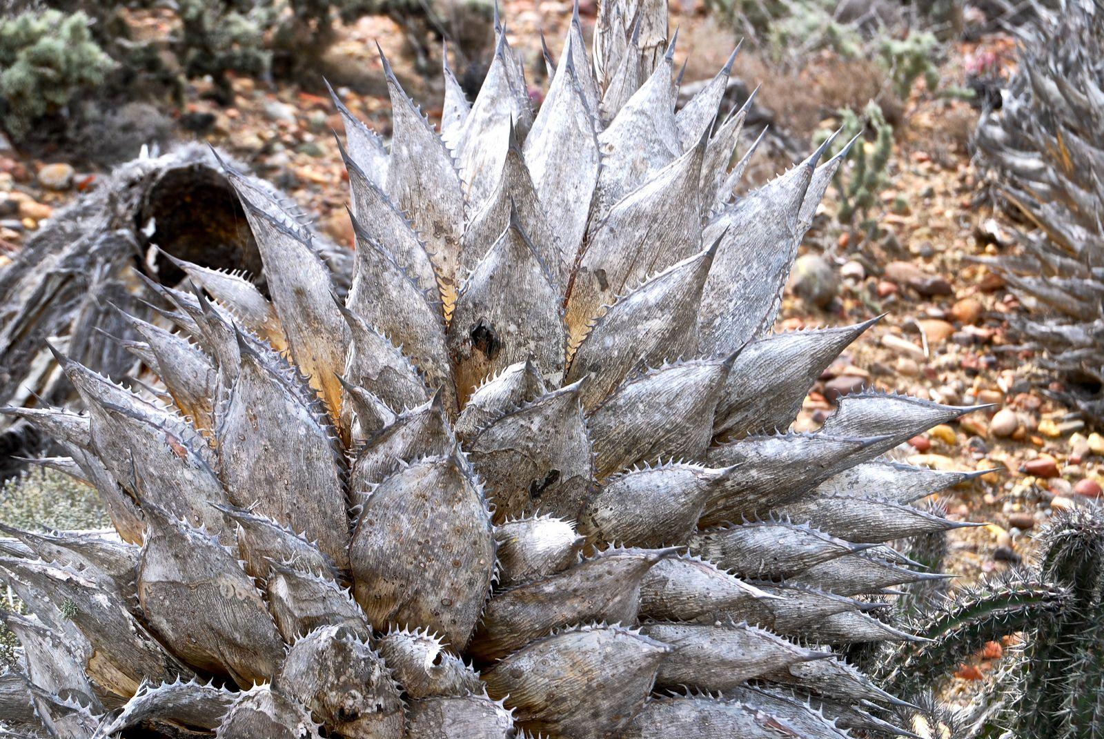 Dry Grey Leaves of Agave shawii | von Joyce-Tex-Buckner