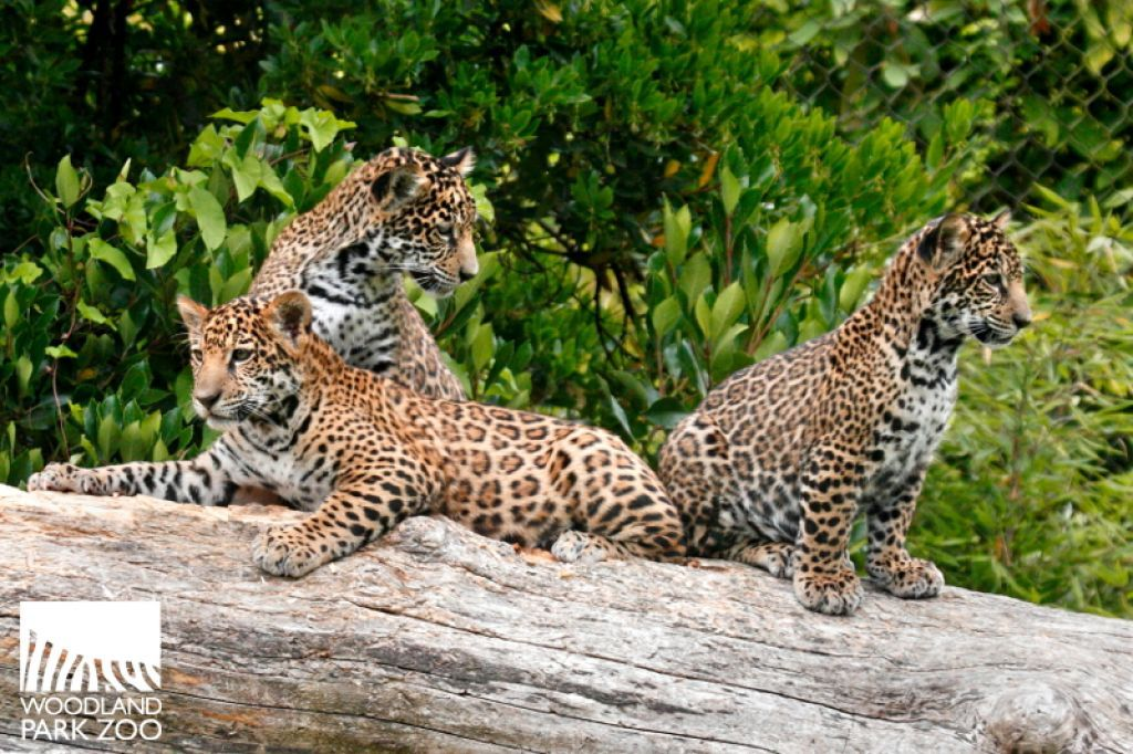 Woodland Park Zoo's baby jaguars are pictured at play