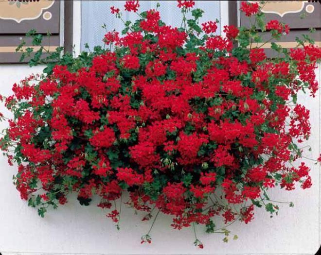 photo collection de 6 g raniums lierre 2 rouges 2 bicolores 2 lilas plants indoor. Black Bedroom Furniture Sets. Home Design Ideas