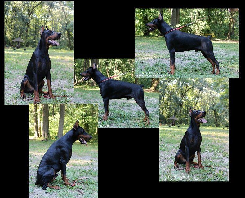 Brut Di Diwinum Doberman Boston Terrier Terrier