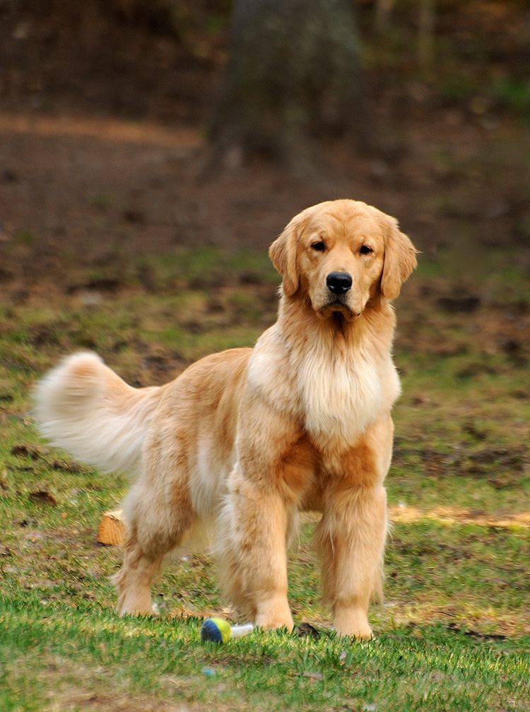 Can Ch Harmony S After Midnight 3 3 2015 Golden Retriever