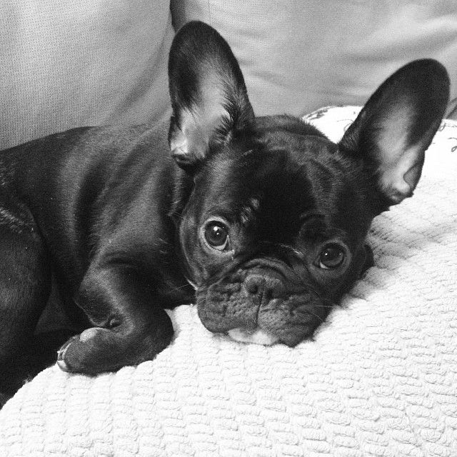 Tumblr Cute Animals French Bulldog Pets
