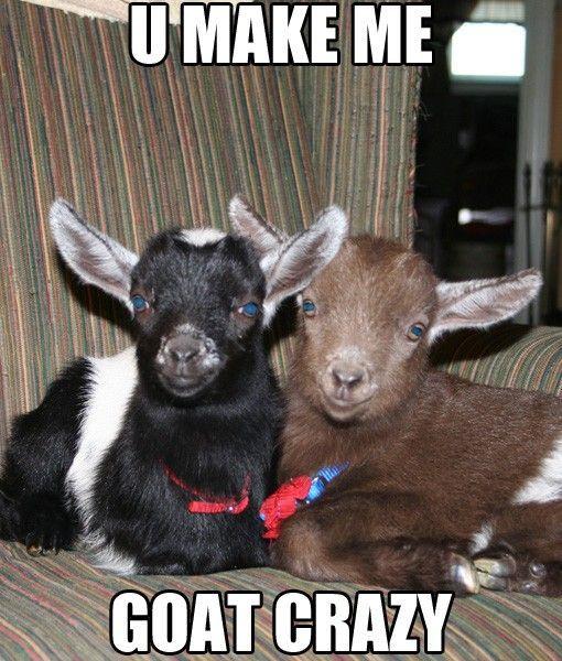 Welcome To Coach Farm Goats Funny Cute Goats Goats