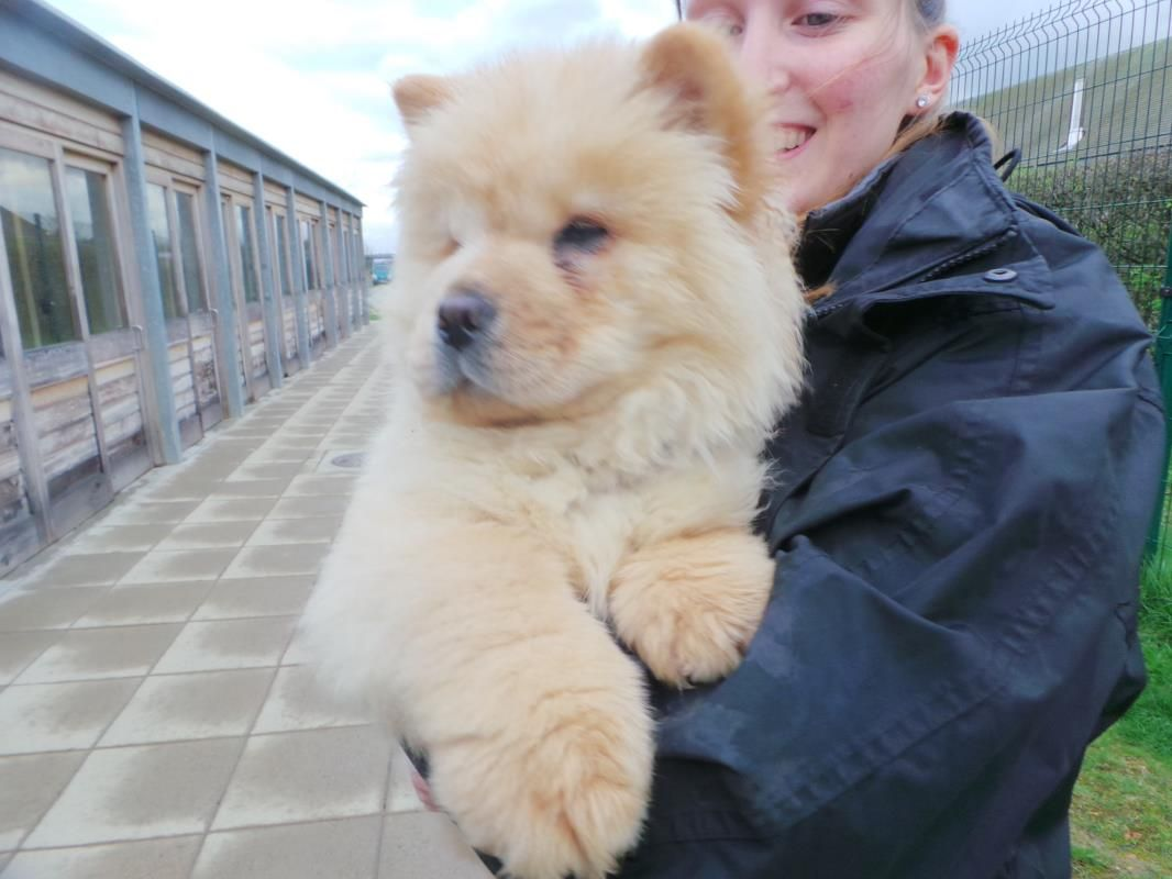 Adopt A Dog Chewy Chow Chow Dogs Trustchewy Is A 15 Week Chow Chow That Hasn T Had The Best Of Starts And Is Looking For Dogs Dog Adoption Puppy Adoption