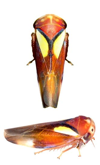 Balcanocerus provancheri