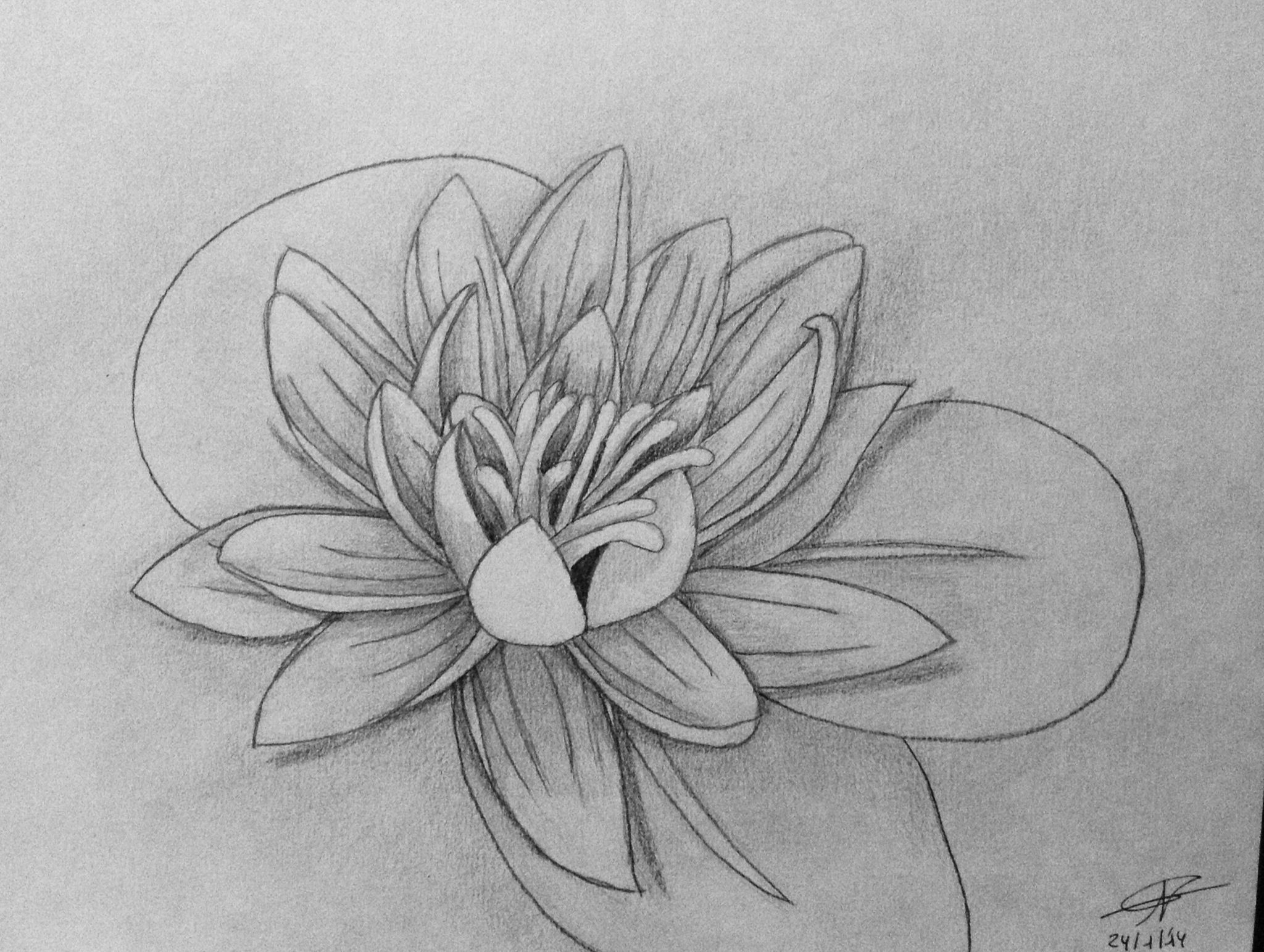 Water lily pad drawing