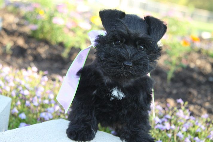 Toy Teacup And Miniature Schnauzer Puppies For Sale Oklahoma Miniature Schnauzer Puppies Schnauzer Puppy Schnauzer