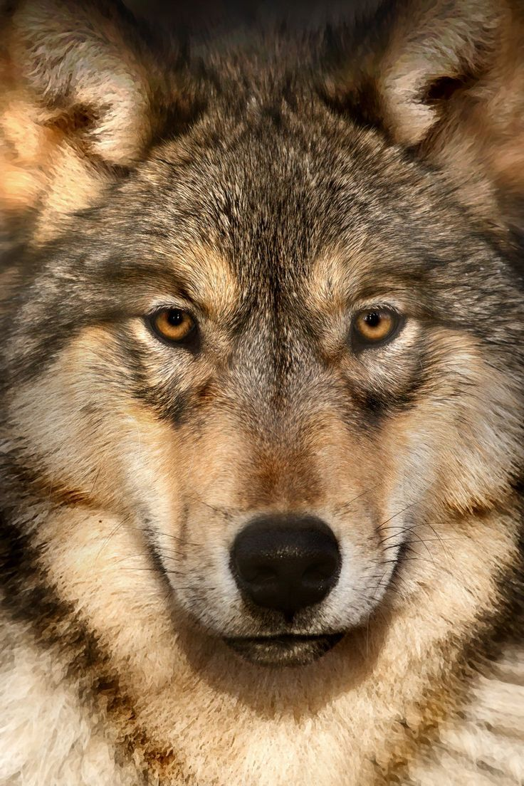 gray wolf | Gray Wolf by Scott Denny | Wolves and Coyotes ...
