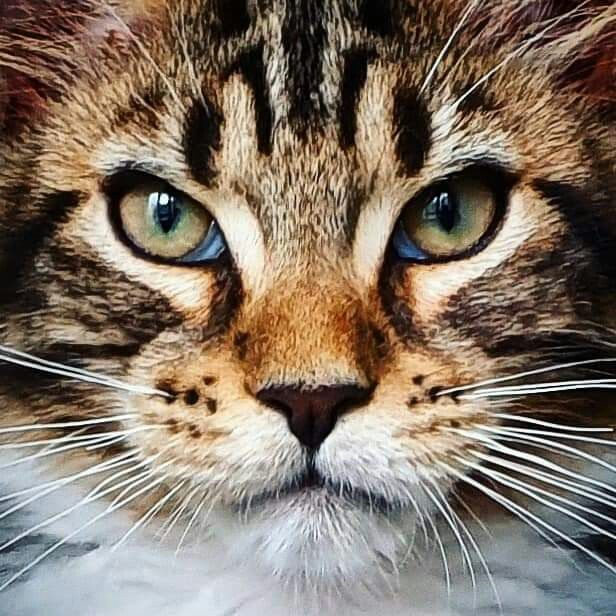 PALMIRACOON*UA Beautiful kittens, Cute cats, kittens, Cats