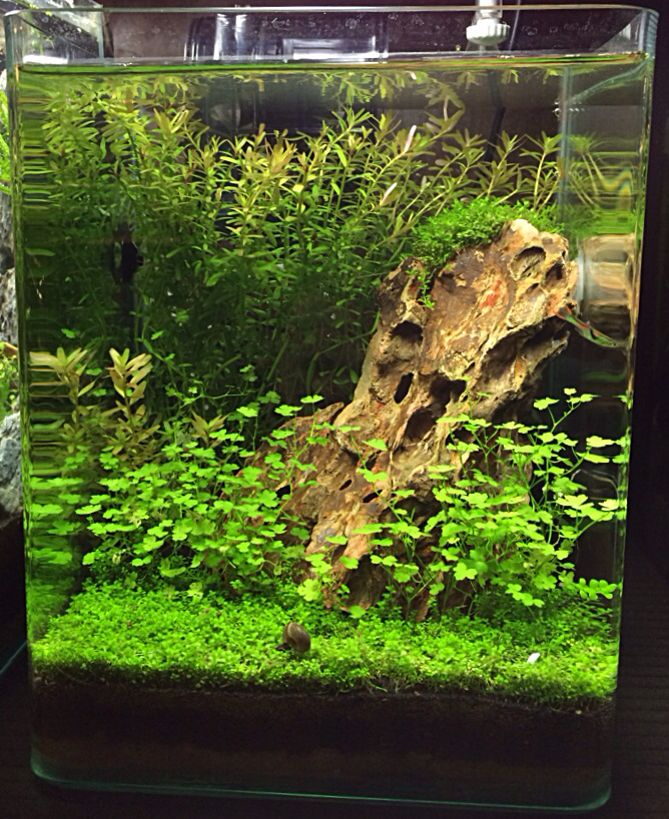 Freshwater Aquascape: What A Beautiful Nano-aquascape! Needs An Assassin Snail