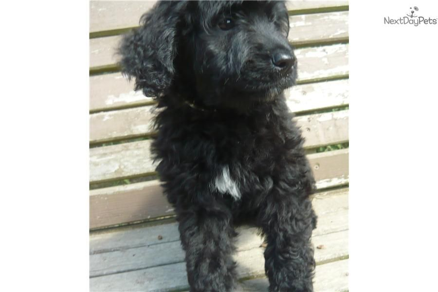 Portuguese Water Dog Puppy For Sale Near St Louis Missouri