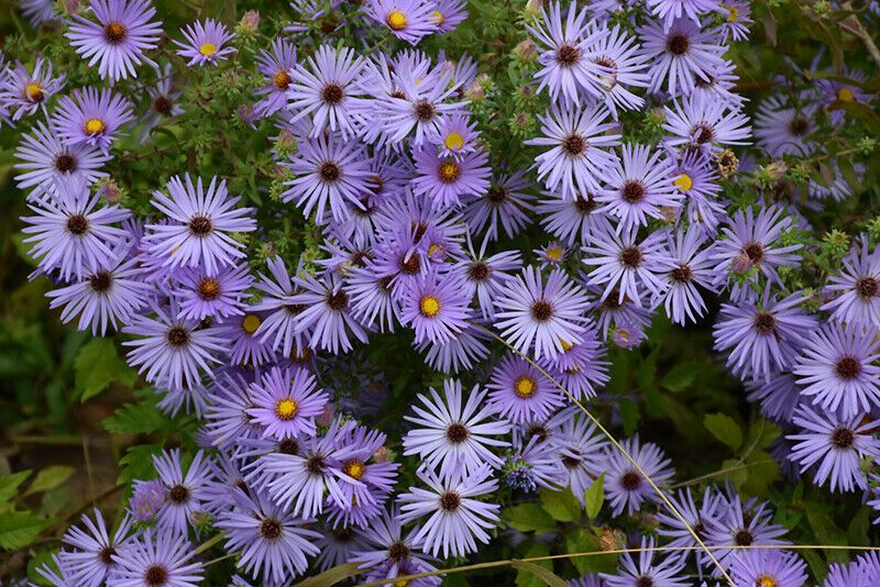 2 Aromatic Aster Wild Blue Wildflower Symphyotrichum Oblongifolius Plant Wild Flowers Plants Wild