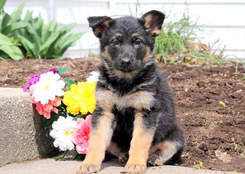German shepherd dog puppy for sale in mount joy pa adn