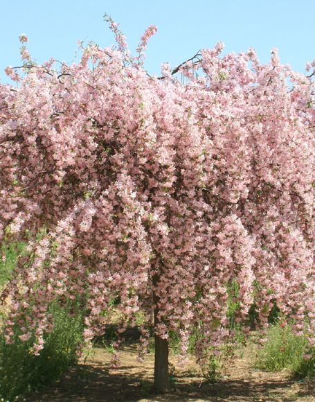 Weeping Crabapple Would Love To Have This Tree In My Yard Beautiful In Full Bloom Crabapple Tree Ornamental Trees Garden Flowering Trees