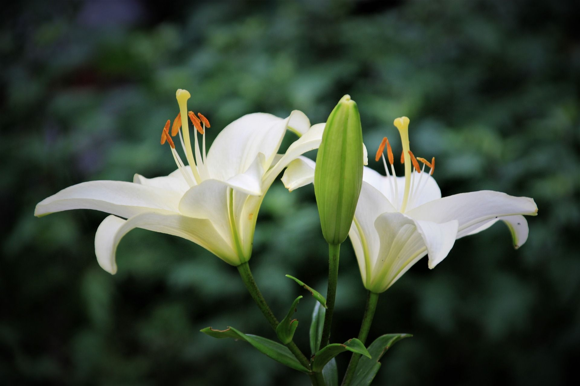 Картинки французской лилии