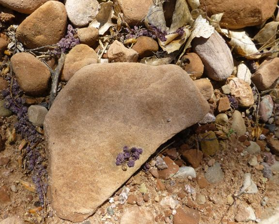 red rocks w dusty purple fallen flowers (photo lindacolsh) Gateway Canyons CO