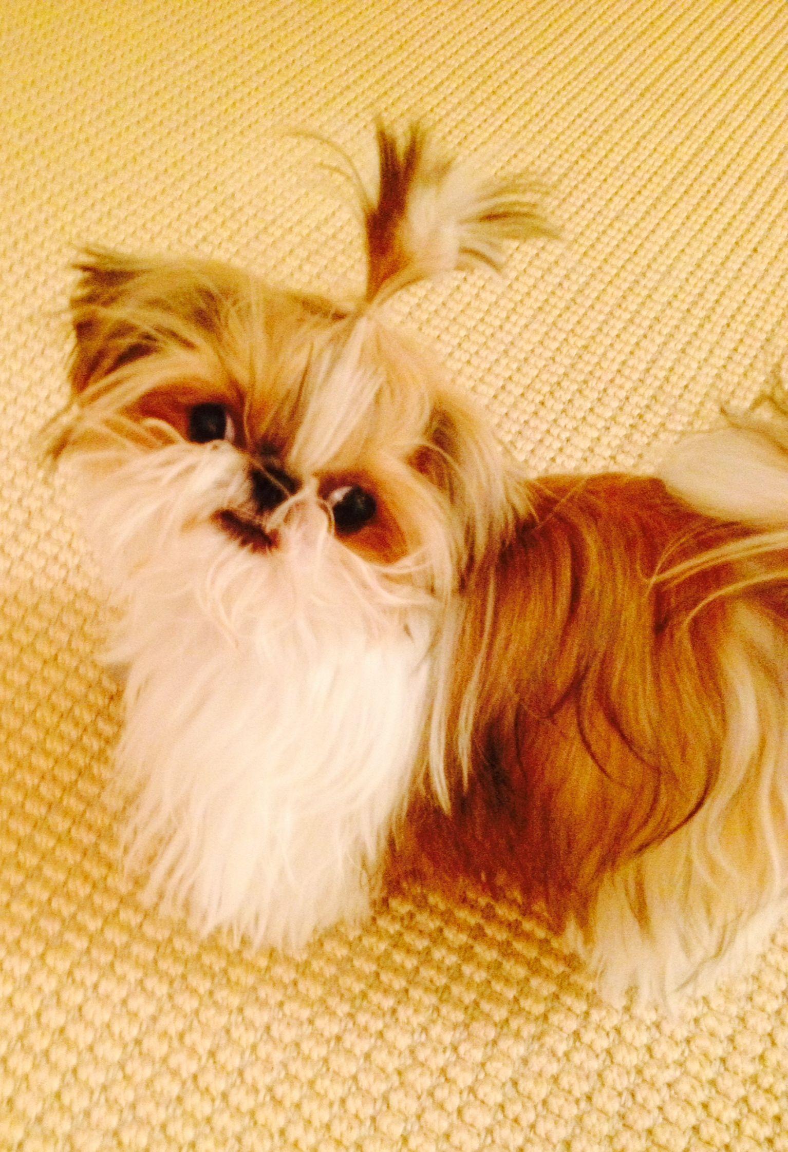 2lbs of cuteness animals shih tzu imperial shih tzu puppies - Imperial westies ...