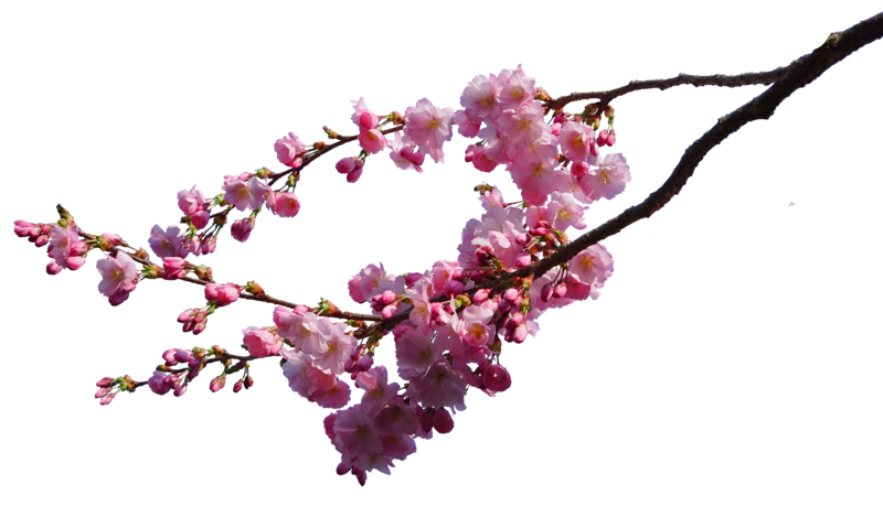 Cherry Blossom Branches Png Stock By Astoko Cherry Blossom Branch Cherry Blossom Pink Trees