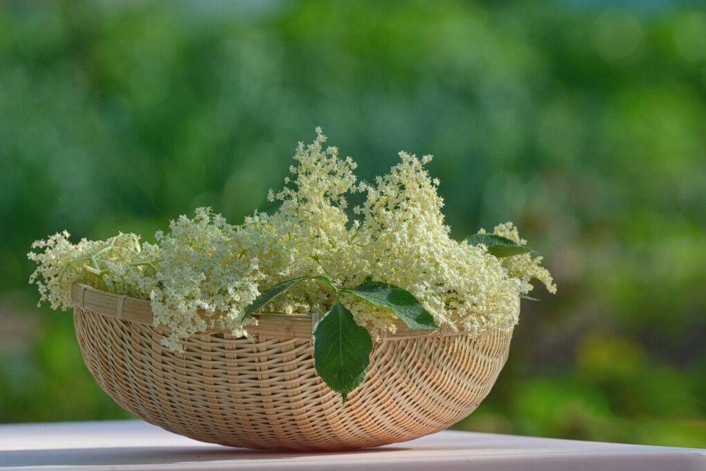 Czarny Bez Owoce I Kwiaty Przepis Na Sok Syrop Nalewke Oh Me