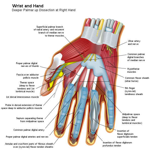 File:Wrist and hand deeper palmar dissection-en.svg | Omg facts ...