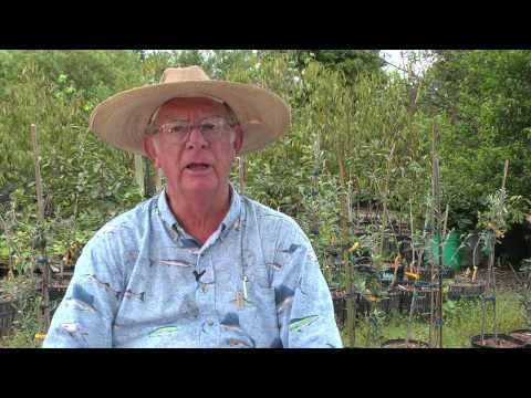 How To Grow Mulberries By Richard Skinner Hawkins Corner Nursery 1 813 752 4938 3802 Old Mulberry Road Plant City Florida Usa 33567 Http Www