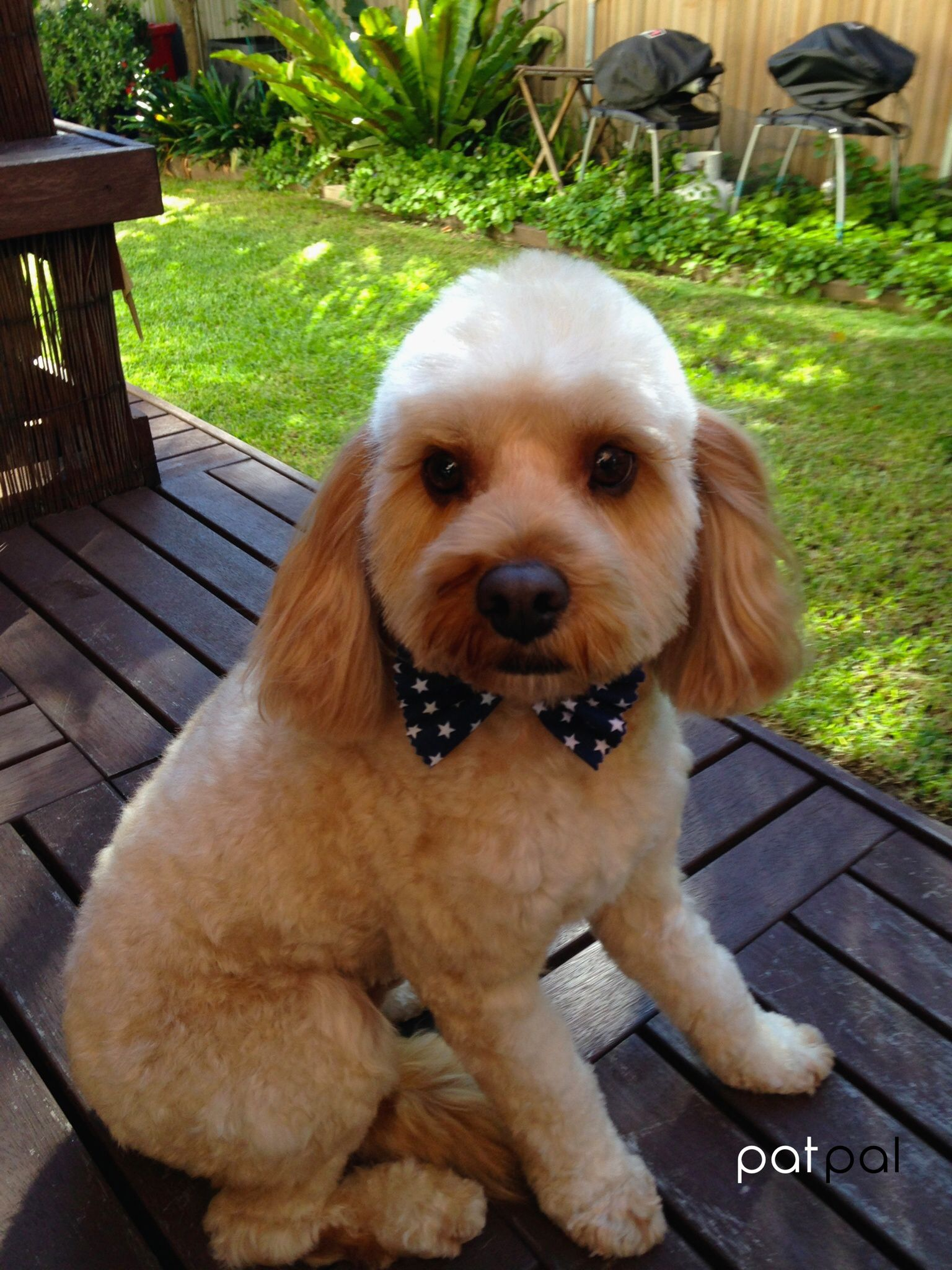 Cute Cavoodle at PatPal dog grooming, Willoughby, Sydney